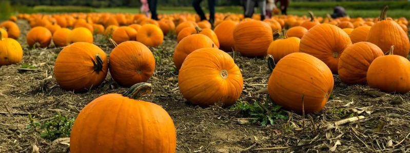 Guide to Charlotte Pumpkin Patches