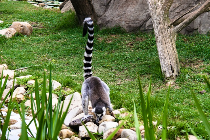 Lazy 5 Ranch RIng Tailed Lemur Endangered